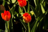 Tulips2013-6